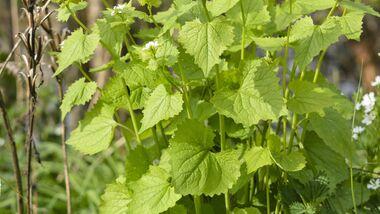 Od-essbare-Pflanzen-Gewoehnliche-Knoblauchsrauke-Steffen-Hauser-botanikfoto-520018-L.jpg