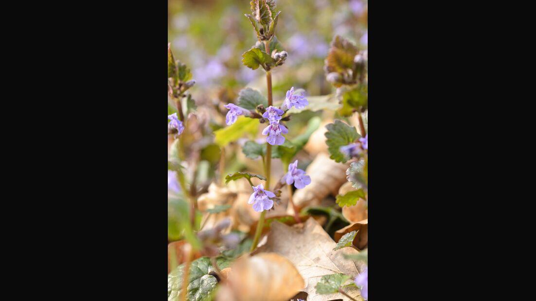 Od-essbare-Pflanzen-Gewoehnlicher-Gundermann-Steffen-Hauser-botanikfoto-507117-L.jpg