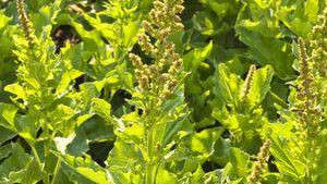 Od-essbare-Pflanzen-Guter-Heinrich-Steffen-Hauser-botanikfoto-425043-L.jpg