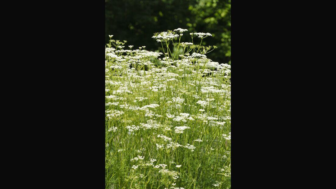 Od-essbare-Pflanzen-Kuemmel-Steffen-Hauser-botanikfoto-484277-L.jpg