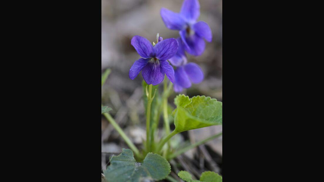 Od-essbare-Pflanzen-Maerzveilchen-Steffen-Hauser-botanikfoto-506067-L.jpg