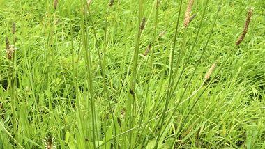 Od-essbare-Pflanzen-Spitzwegerich-Friederike-Take-botanikfoto-558272-L.jpg