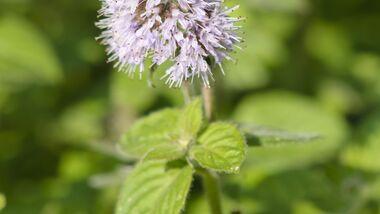 Od-essbare-Pflanzen-Wasserminze-Steffen-Hauser-botanikfoto-523153-L.jpg