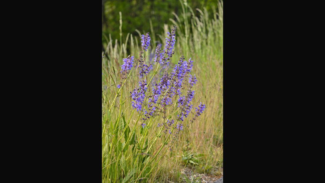 Od-essbare-Pflanzen-Wiesensalbei-Steffen-Hauser-botanikfoto-545040-L.jpg
