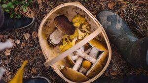 Pilze sammeln im Wald