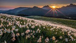 Switzerland Summer: Les Pleiades, Narzissenfeld