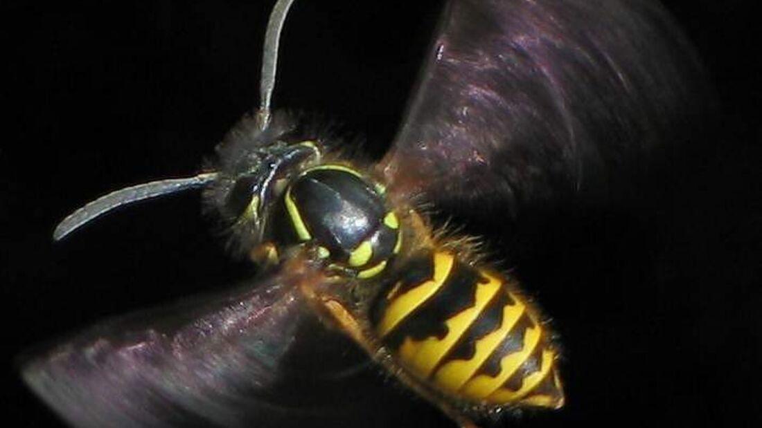 Wespe Insekten Tiere