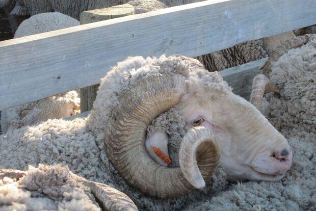 Woher kommt die Wolle für Reda Rewoolution? 3