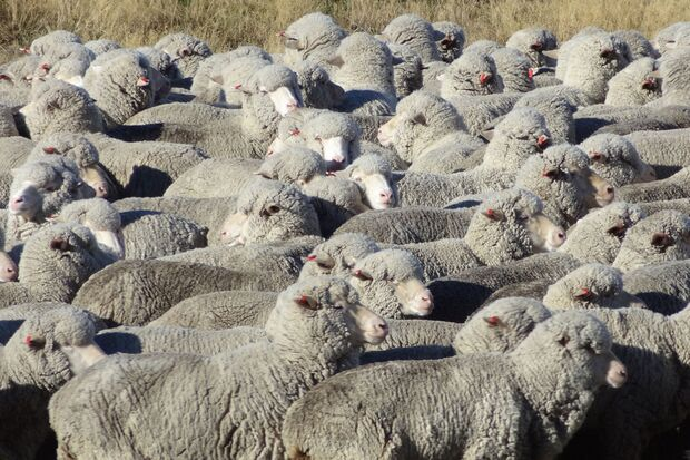 Woher kommt die Wolle für Reda Rewoolution? 4