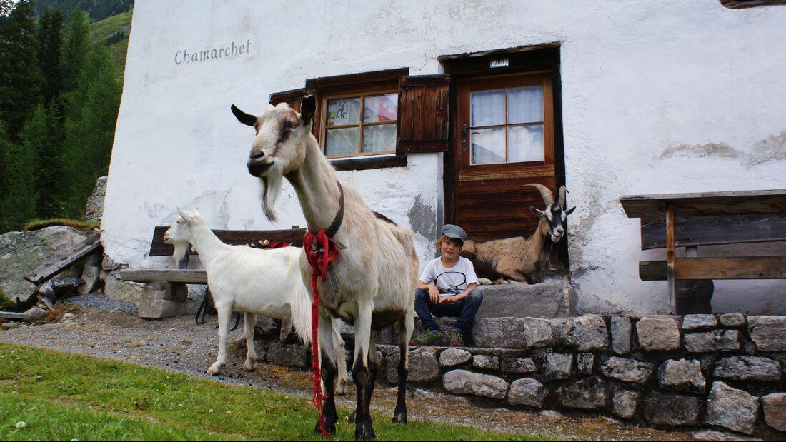Ziegentrekking in Graubünden, Schweiz
