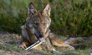 od-0318-wolf-interview-gomille-1 (jpg)
