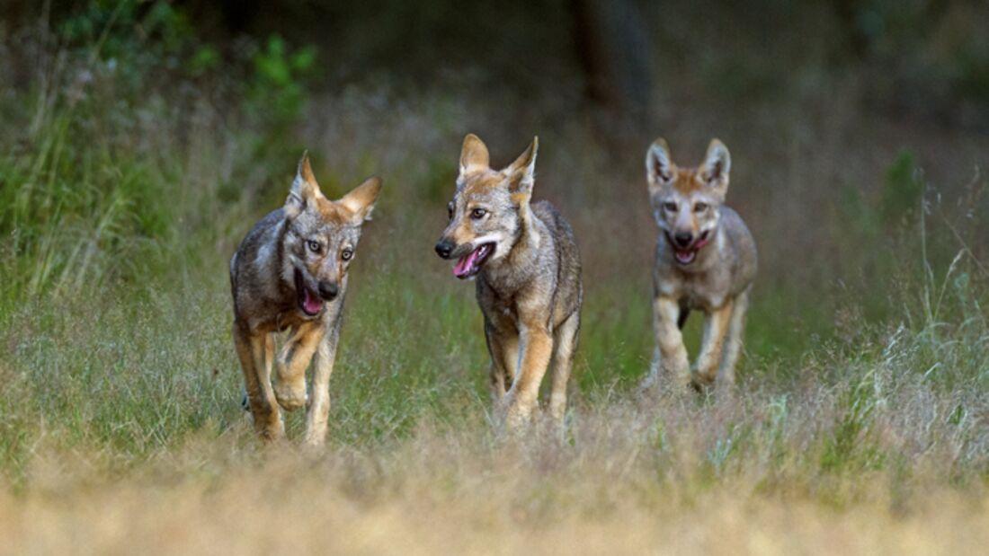 Wolf Kaufen In Deutschland