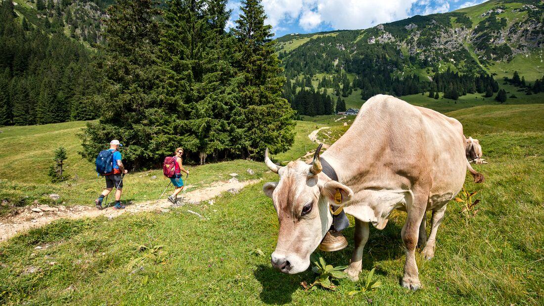 od-1018-oberallgaeu-BastianMorell-tk-1 (jpg) Allgäu Kuh