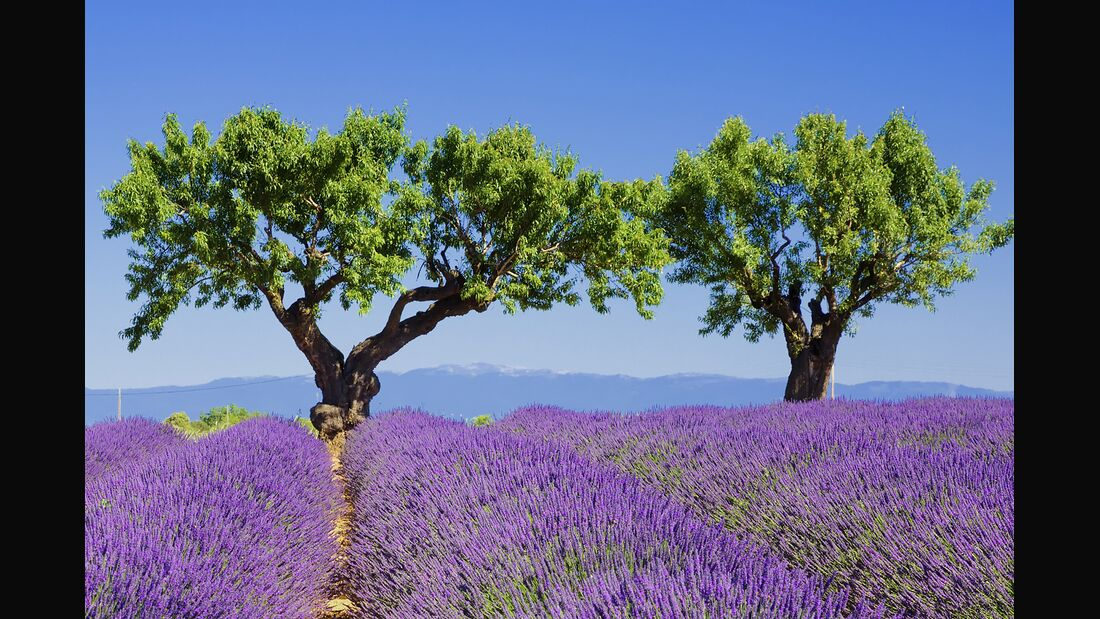 od-colourbox-lavendel-bluete-blumen-sommer (jpg)
