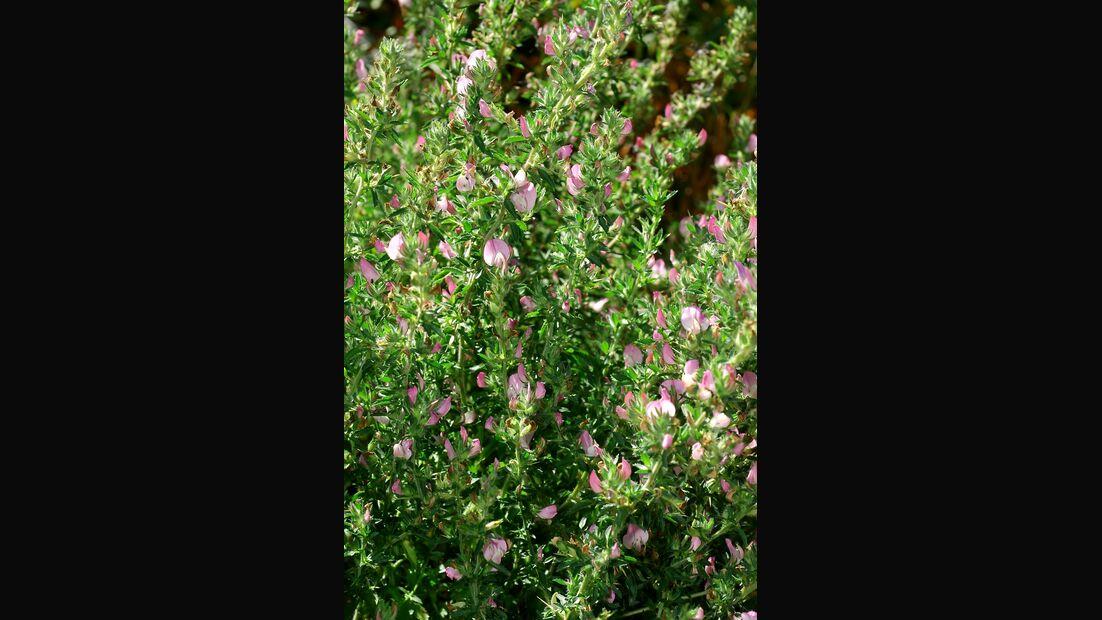 od-essbare-Pflanzen-Dornige-Hauhechel-botanikus_Ononis spinosa.jpg