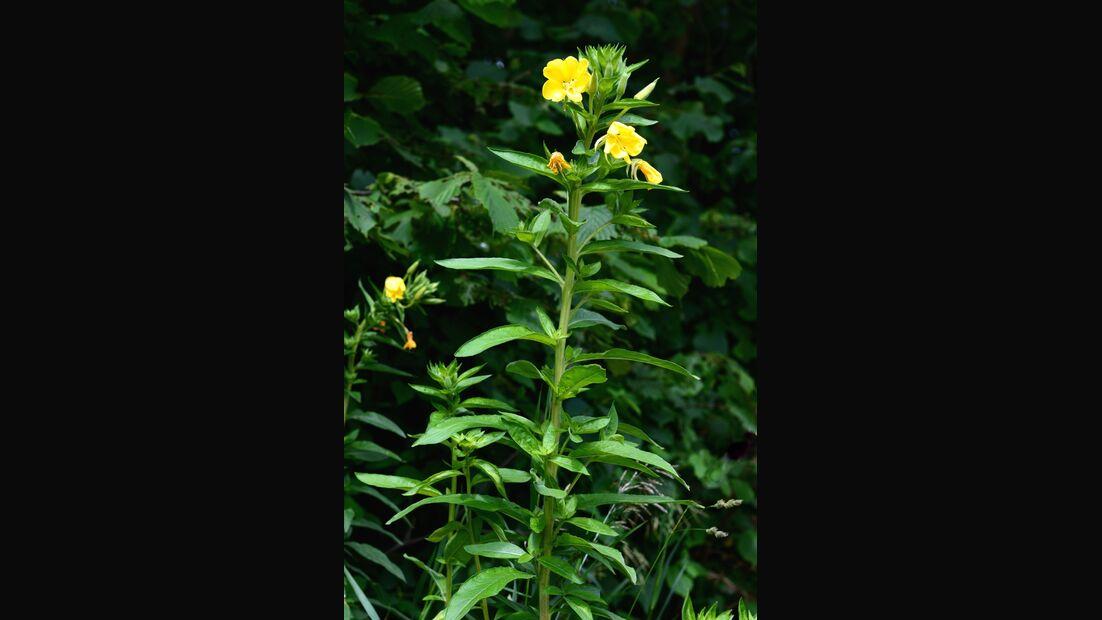 od-essbare-Pflanzen-Gemeine-Nachtkerze-botanikus_Oenothera biennis7-LOCHSTAMPFER.jpg