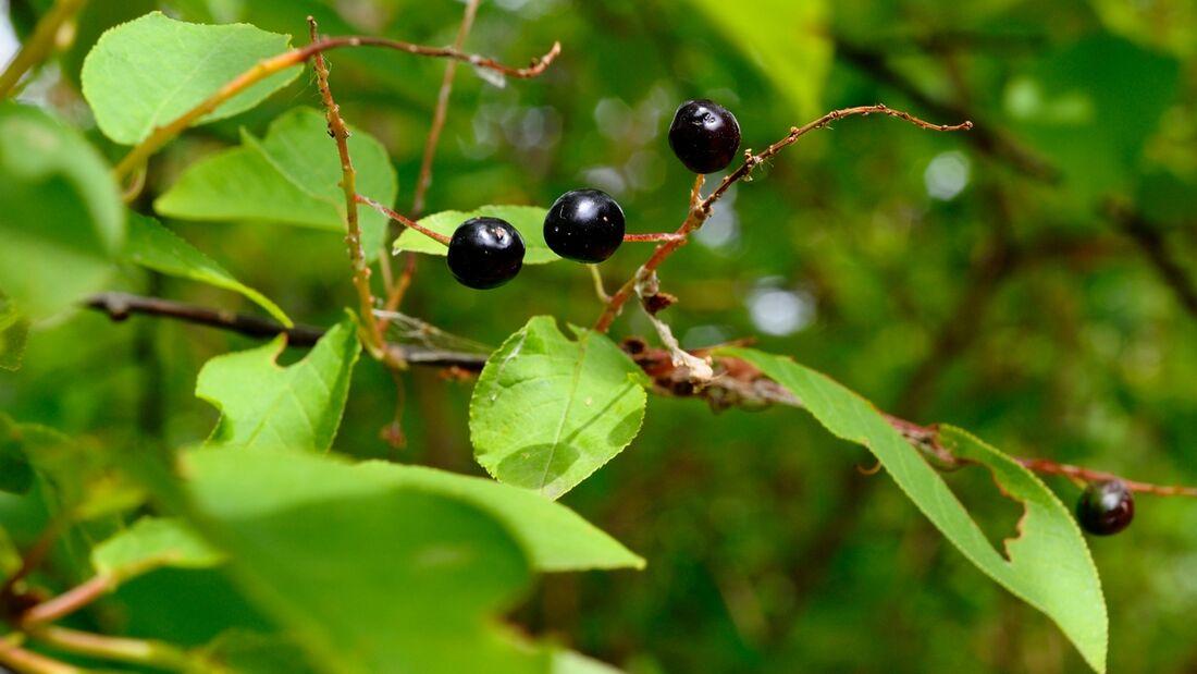 od-essbare-Pflanzen-Gewöhnliche-Traubenkirsche-botanikus_Prunus padus-LOCHSTAMPFER.jpg