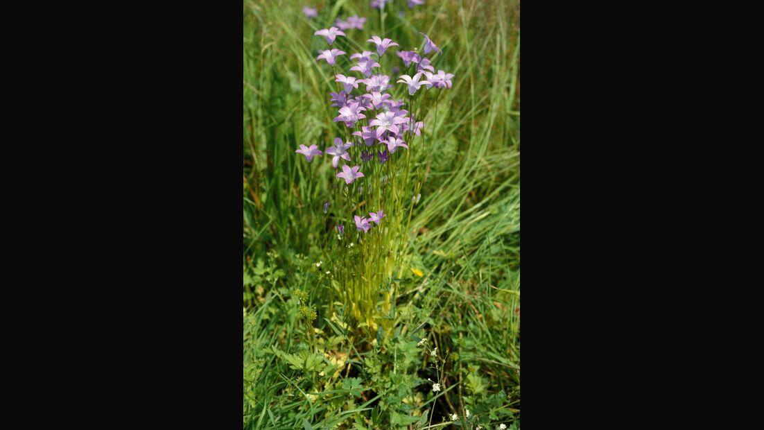 od-essbare-Pflanzen-Wiesenglockenblume-botanikus_Campanula patula.jpg