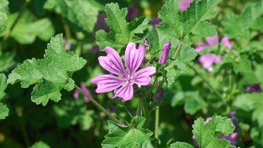 od-essbare-Pflanzen-Wilde-Malve-botanikus_Malva sylvestris2.jpg