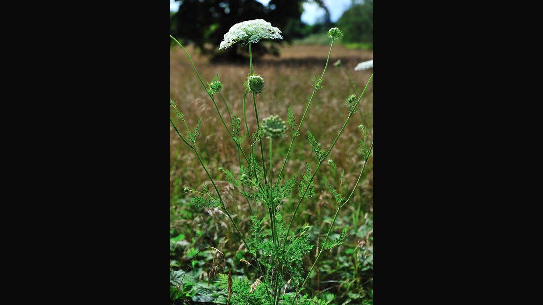 od-essbare-Pflanzen-Wilde-Moehre-botanikus_Daucus carota5-LOCHSTAMPFER.jpg
