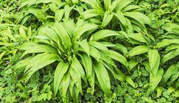 od-essbare-pflanzen-Baerlauch_COLOURBOX7955179.jpg