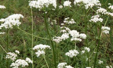 od-essbare-pflanzen-Baldrian_COLOURBOX1531035.jpg