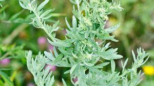 od-essbare-pflanzen-Beifuss_COLOURBOX23110115.jpg