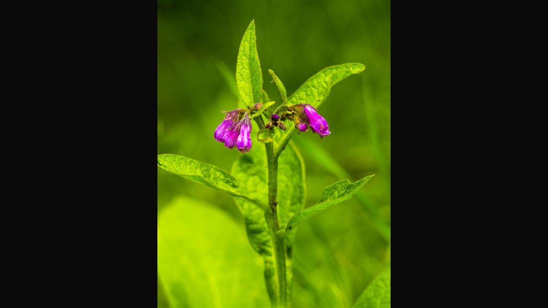 od-essbare-pflanzen-Beinwell_COLOURBOX19868156.jpg