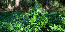 od-essbare-pflanzen-Blaubeere_COLOURBOX7733076.jpg