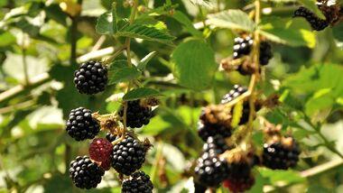 od-essbare-pflanzen-Brombeere_COLOURBOX8101225.jpg