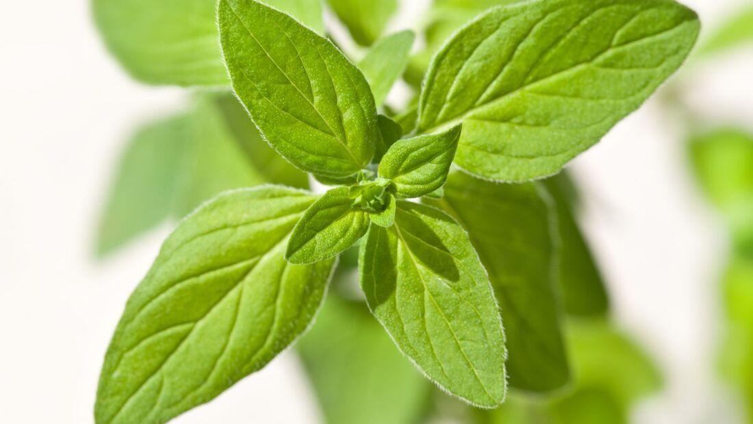 od-essbare-pflanzen-Dost_COLOURBOX16446653.jpg