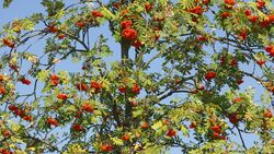 od-essbare-pflanzen-Eberesche_COLOURBOX23738033.jpg