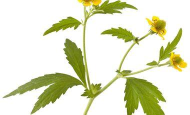 od-essbare-pflanzen-Echte_Nelkenwurz_shutterstock_520623388.jpg