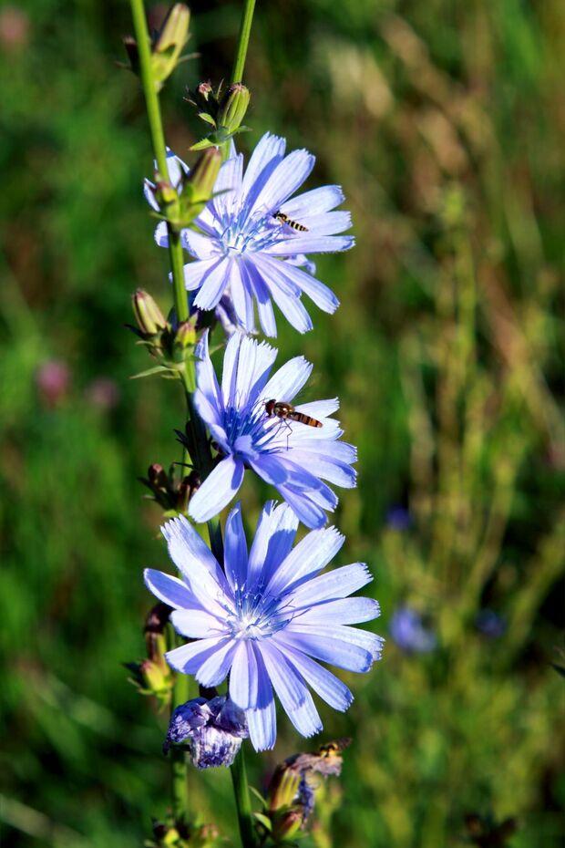 od-essbare-pflanzen-Echte_Wegwarte_COLOURBOX2186388.jpg