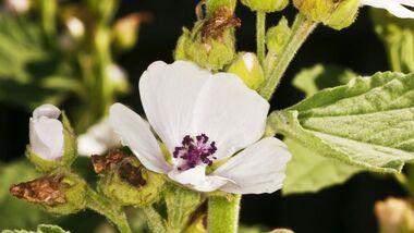 od-essbare-pflanzen-Echter_Eibisch_COLOURBOX6054074.jpg