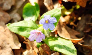od-essbare-pflanzen-Echtes_Lungenkraut_COLOURBOX6180556.jpg