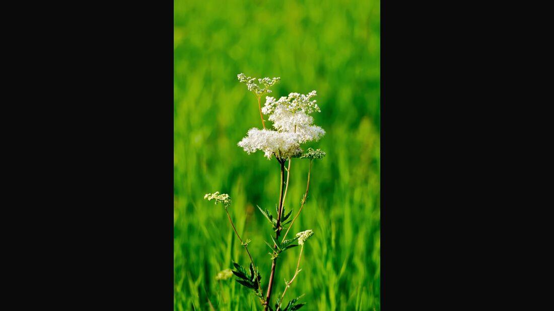 od-essbare-pflanzen-Echtes_Maedesuess_COLOURBOX9723192.jpg