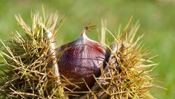 od-essbare-pflanzen-Edelkastanie_COLOURBOX1443054.jpg