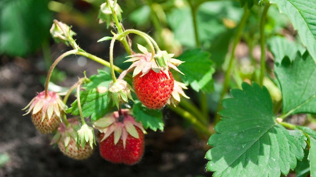 od-essbare-pflanzen-Erdbeere_COLOURBOX1270169.jpg