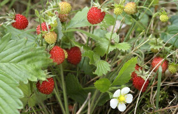 od-essbare-pflanzen-Erdbeere_Wild_COLOURBOX2972892.jpg