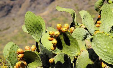 od-essbare-pflanzen-Feigenkaktus_COLOURBOX7418497.jpg