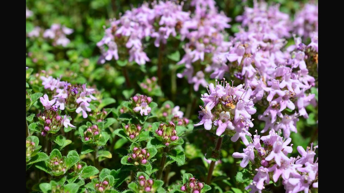 od-essbare-pflanzen-Feldthymian_COLOURBOX8394363.jpg