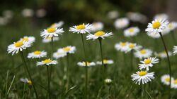 od-essbare-pflanzen-Gaensebluemchen_COLOURBOX1930570.jpg