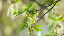od-essbare-pflanzen-Gemeine_Esche_COLOURBOX9850754.jpg