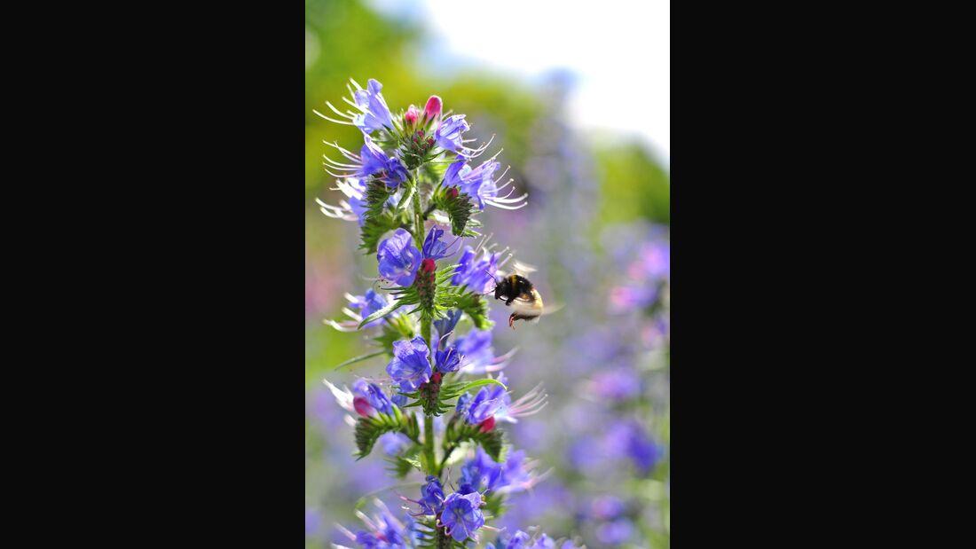 od-essbare-pflanzen-Gewoehnlicher_Natterkopf_COLOURBOX18573851.jpg