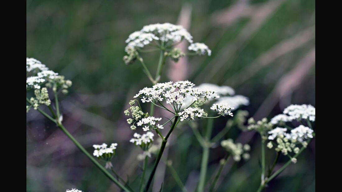 od-essbare-pflanzen-Giersch_COLOURBOX23007521.jpg