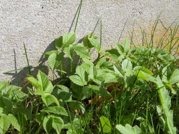 od-essbare-pflanzen-Giersch_COLOURBOX4138882.jpg