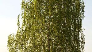 od-essbare-pflanzen-Haengebirke_COLOURBOX3052590.jpg