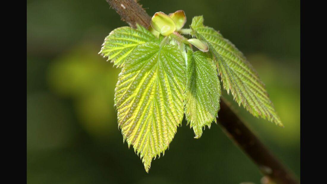 od-essbare-pflanzen-Haselnuss_COLOURBOX1299994.jpg