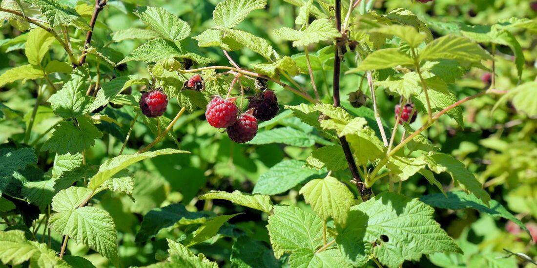 od-essbare-pflanzen-Himbeere_COLOURBOX4383613.jpg